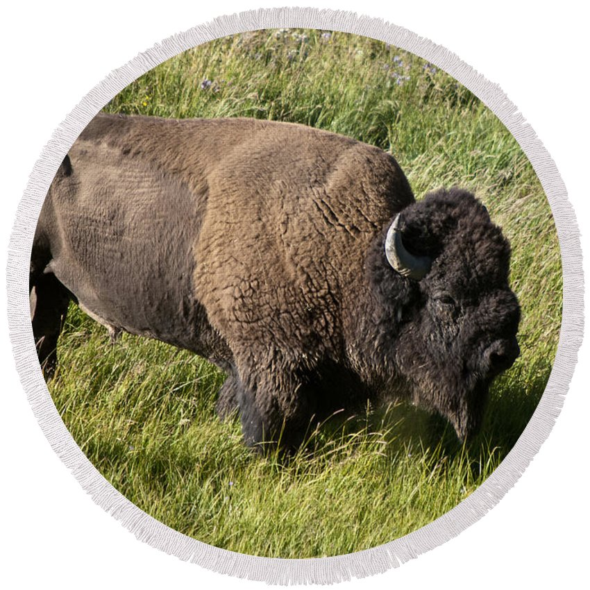 Male Bison Buffalo Hayden Valley Yellowstone National Park Wyoming Usa. An Adult Bull Bison May Be Six Feet Tall At The Shoulder And Weigh 2000 Pounds. Round Beach Towel featuring the photograph Male Bison Grazing by Paul Cannon
