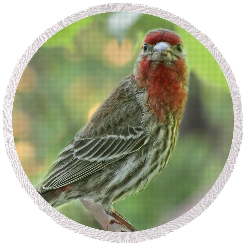 Nature Round Beach Towel featuring the photograph Male House Finch by Debbie Portwood