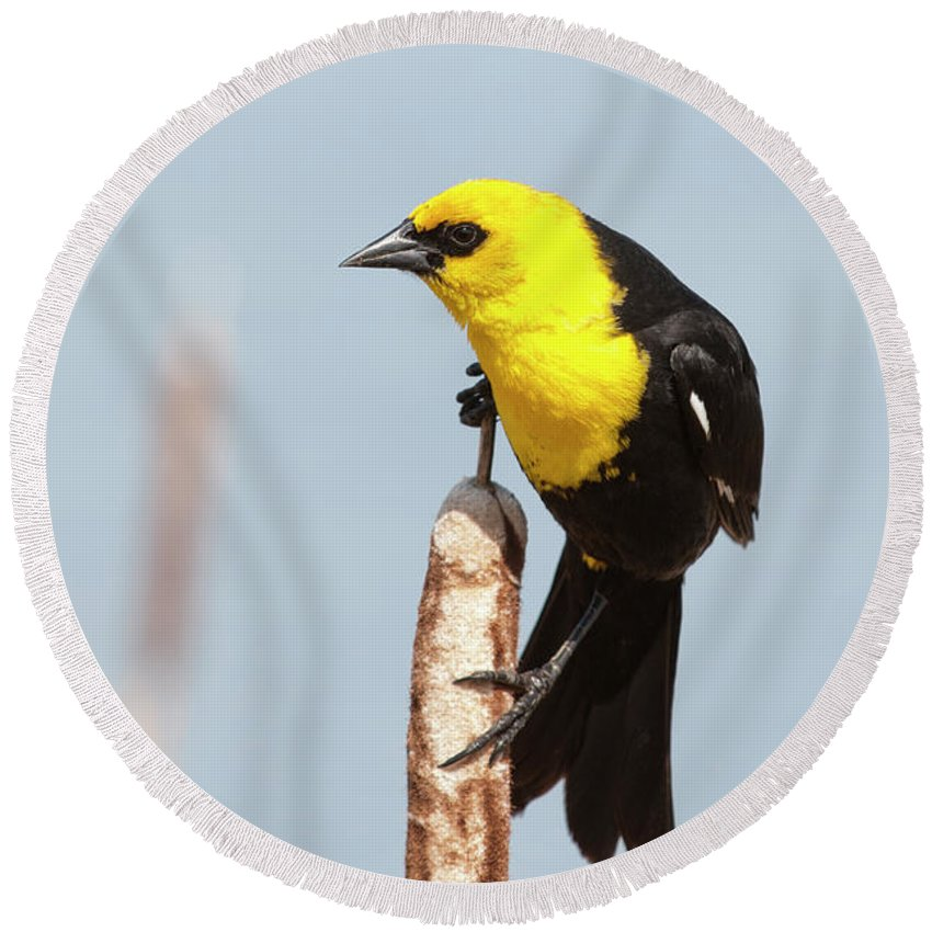 Alberta Round Beach Towel featuring the photograph Male Yellow-headed Blackbird by Roderick Bley
