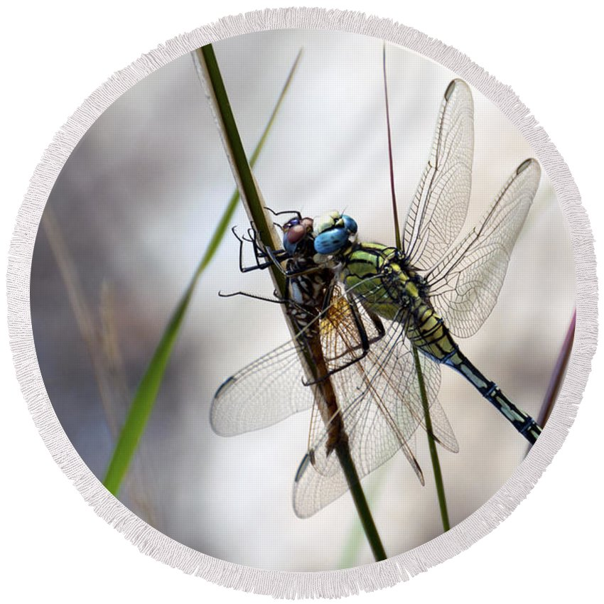 Dragon Fly Round Beach Towel featuring the photograph Mating Dragonflies by Focus Fotos