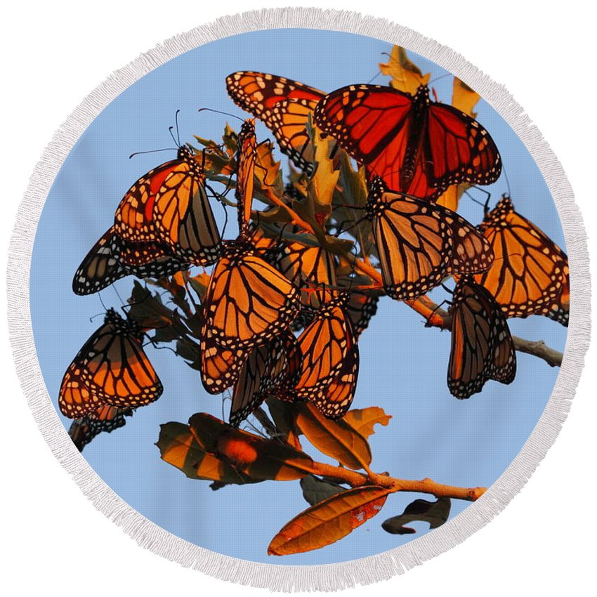 Monarch Butterfly Round Beach Towel featuring the photograph Monarch Migration by Andrew McInnes