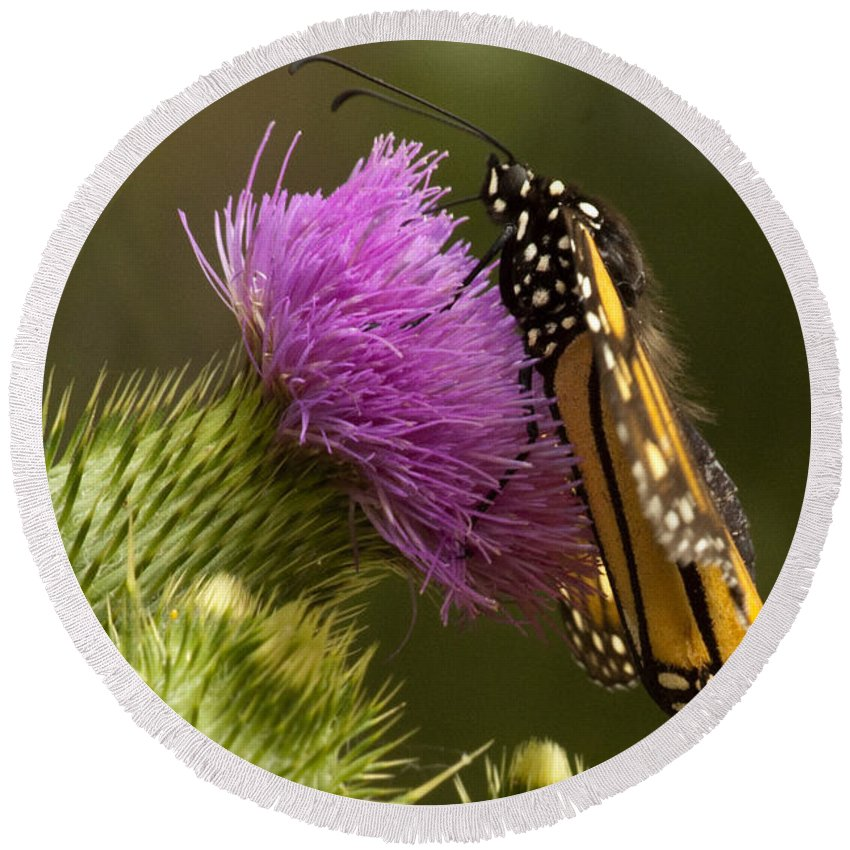 Monarch Round Beach Towel featuring the photograph Monarch On Thistle 2 by Darleen Stry