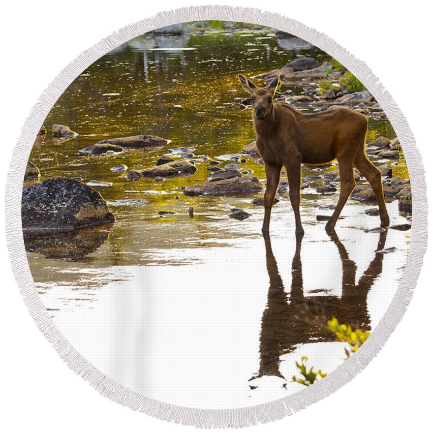 Moose Round Beach Towel featuring the photograph Moose Baby 2 by Glenn Gordon
