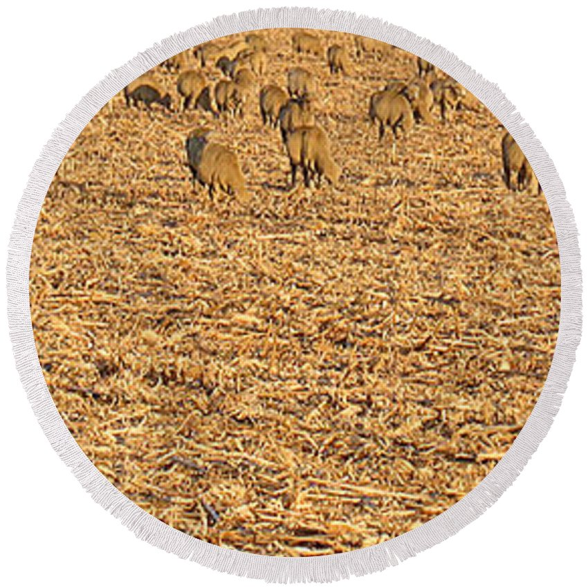 Nature Round Beach Towel featuring the photograph More Sheep To Count To Go To Sleep by Carl Deaville