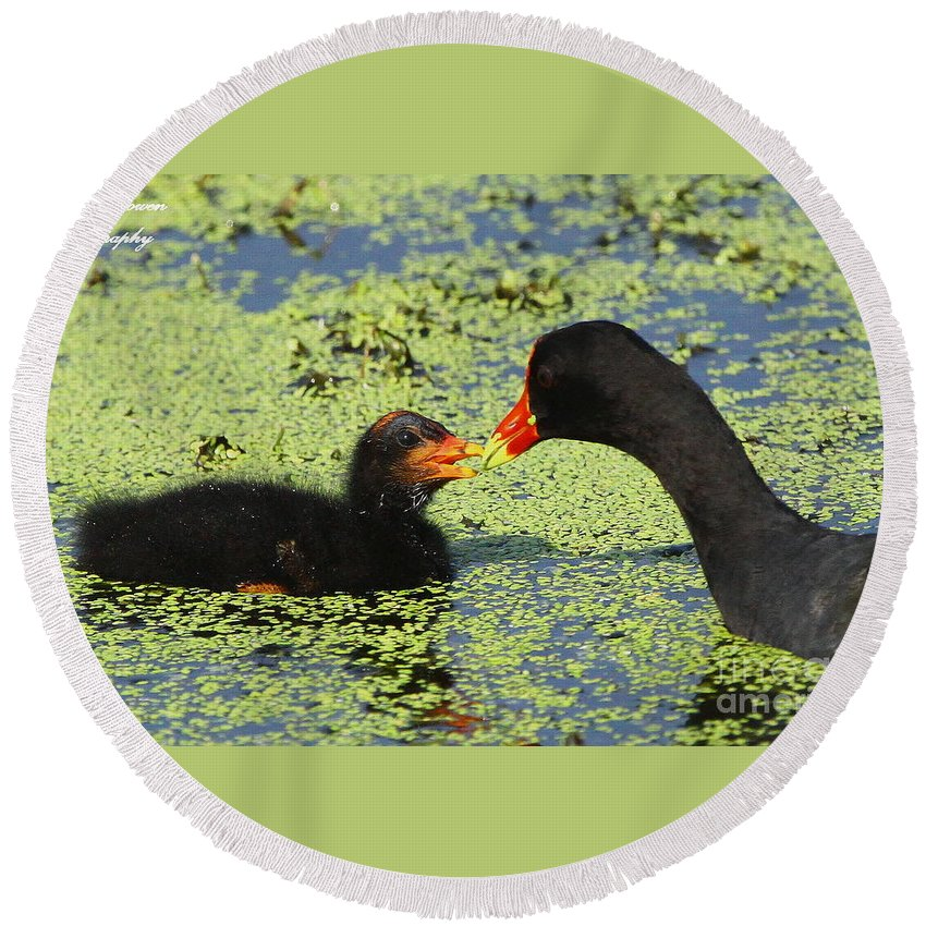 Common Gallinule Round Beach Towel featuring the photograph Mother Common Gallinule Feeding Baby Chick by Barbara Bowen