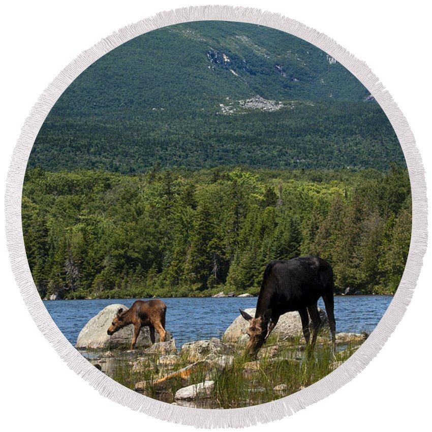 Moose Round Beach Towel featuring the photograph Mount Katahdin Moose by Glenn Gordon