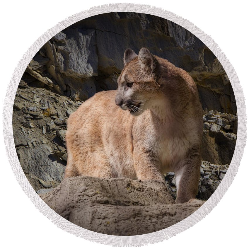 Art Round Beach Towel featuring the photograph Mountain Lion On The Prowl by Randall Nyhof
