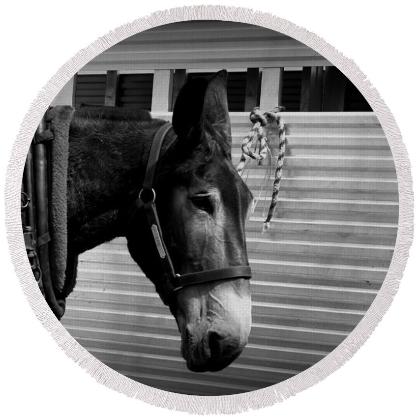 Mule Round Beach Towel featuring the photograph Mule - Tied Up For A While by Travis Truelove