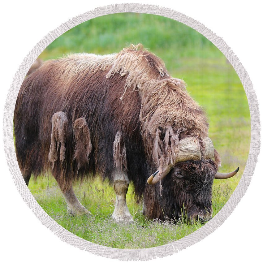 Animal Round Beach Towel featuring the photograph Musk Ox by Paul Fell