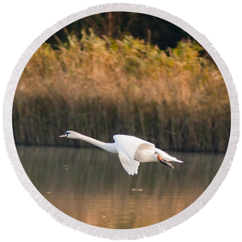England Round Beach Towel featuring the photograph Mute Swan by Andrew Michael