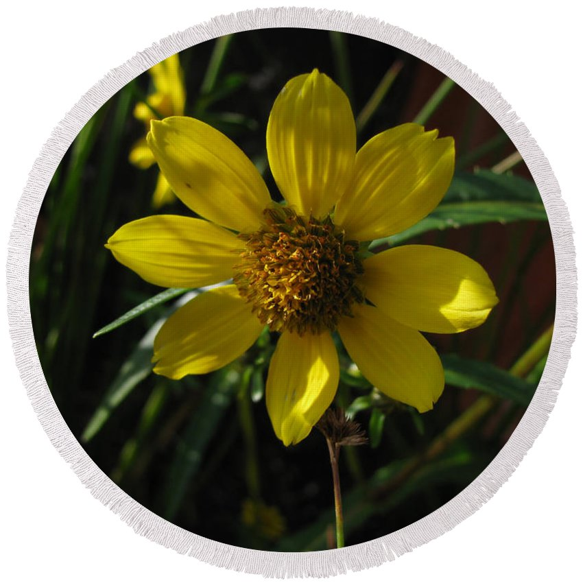 Plant Round Beach Towel featuring the photograph Nodding Bur Marigold by Donna Brown