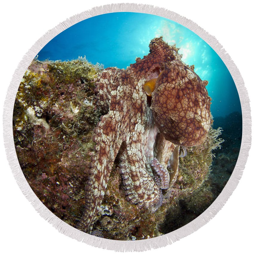 La Paz Round Beach Towel featuring the photograph Octopus Posing On Reef, La Paz, Mexico by Todd Winner