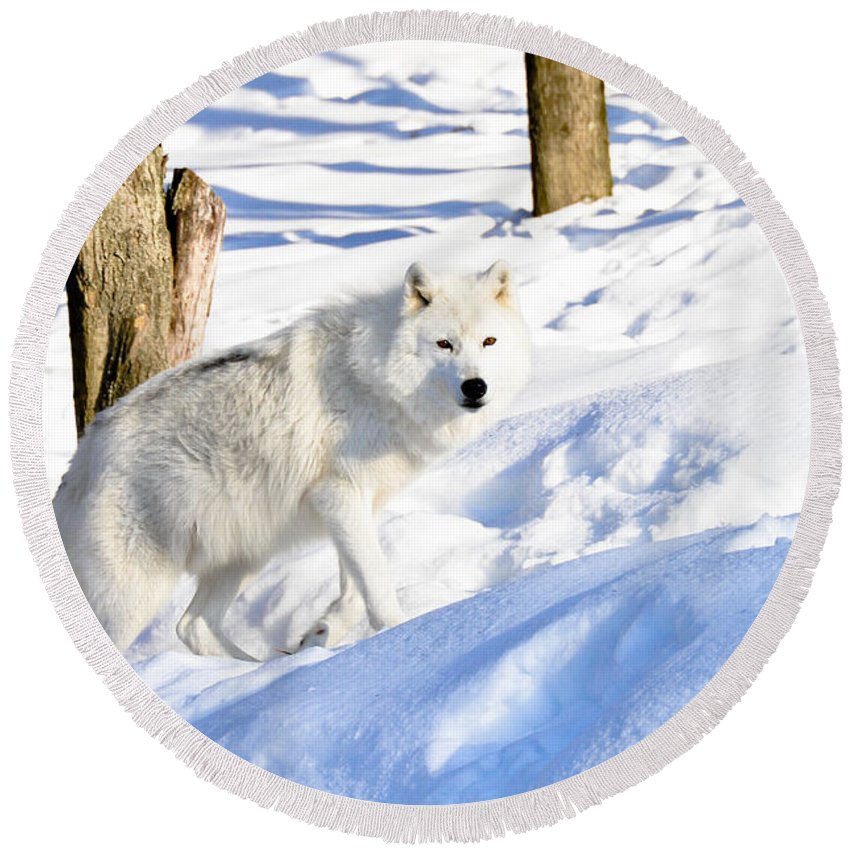 Arctic Wolf Round Beach Towel featuring the photograph On The Prowl by Cheryl Baxter