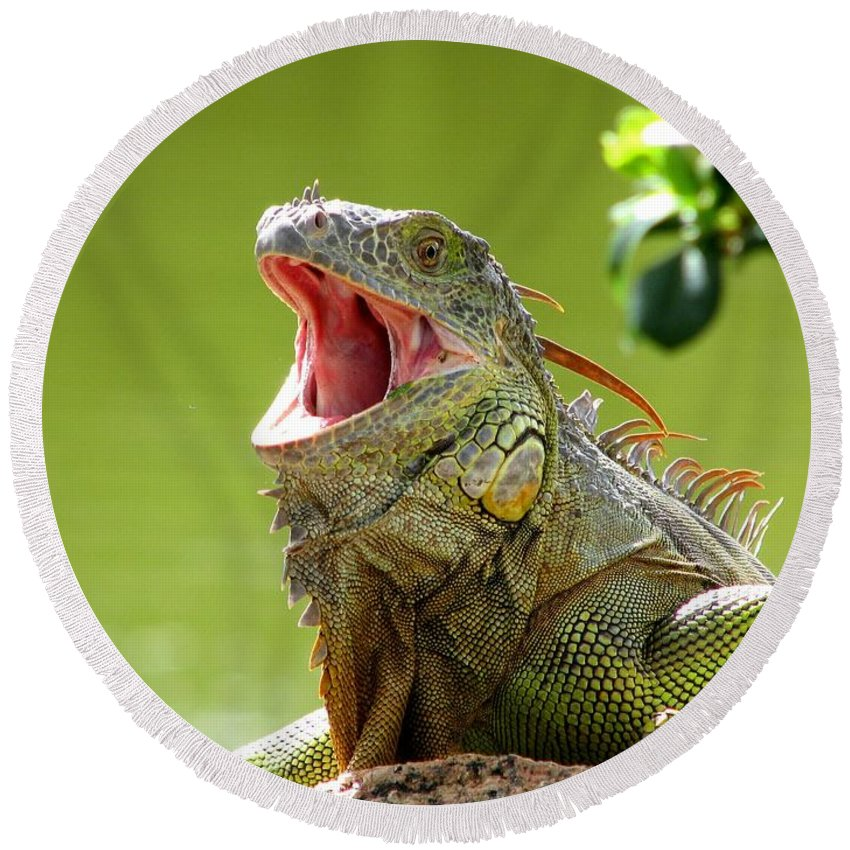Wildlife Round Beach Towel featuring the photograph Open Mouth Iguana by Patricia Blake