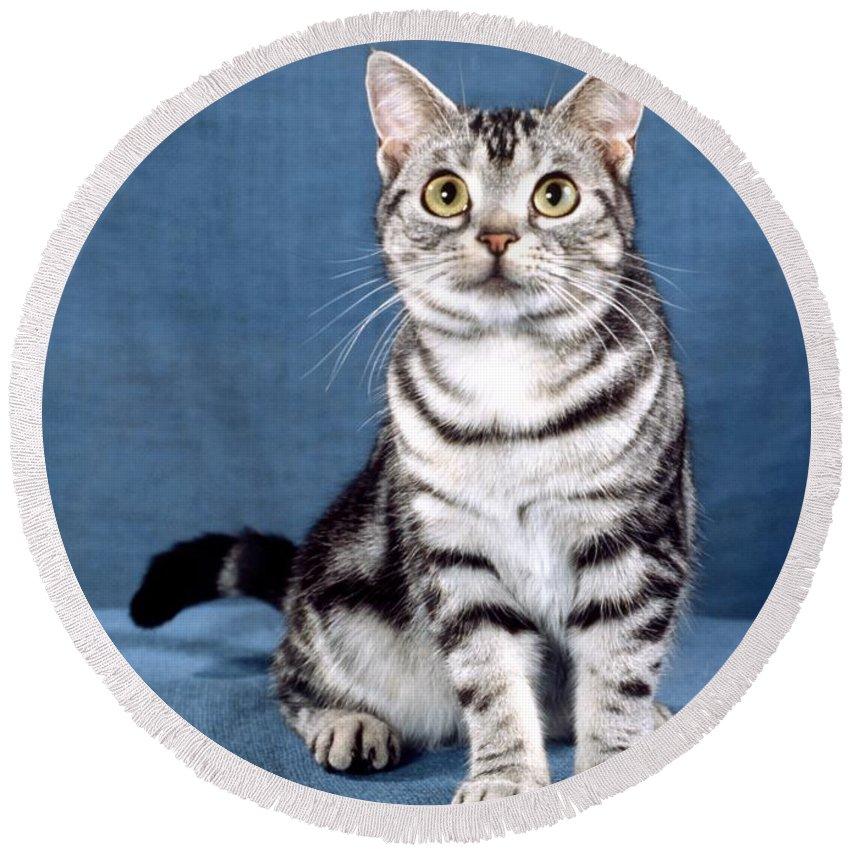 American Shorthair Cat Round Beach Towel featuring the photograph Outstanding American Shorthair Cat by Larry Allan