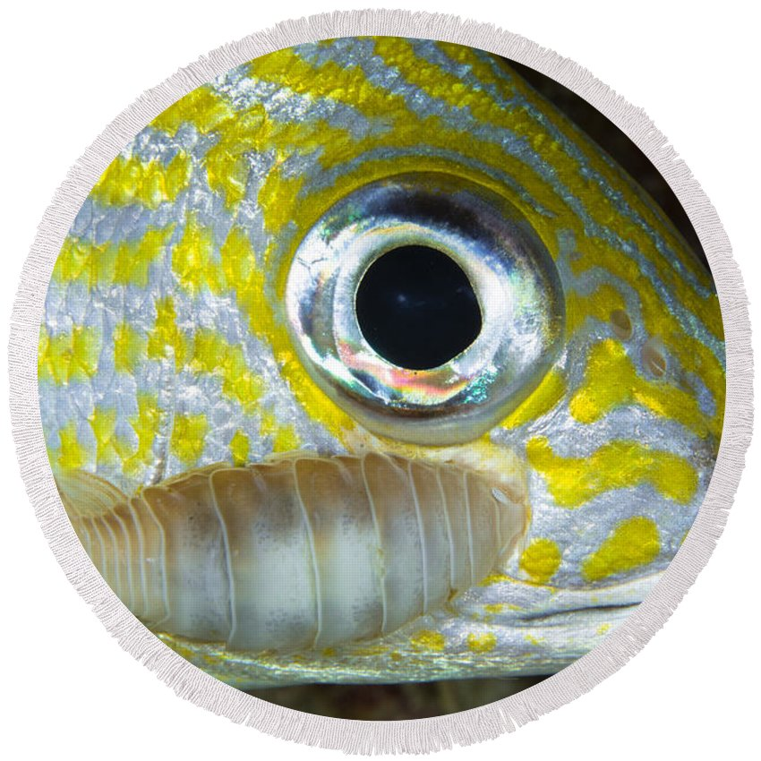 Sea Life Round Beach Towel featuring the photograph Parasitic Isopod On Grunt, Belize by Todd Winner
