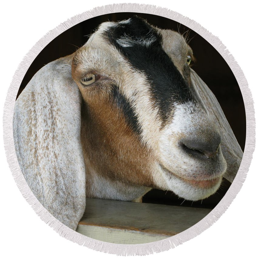 Goat Round Beach Towel featuring the photograph Photogenic Goat by Ann Horn