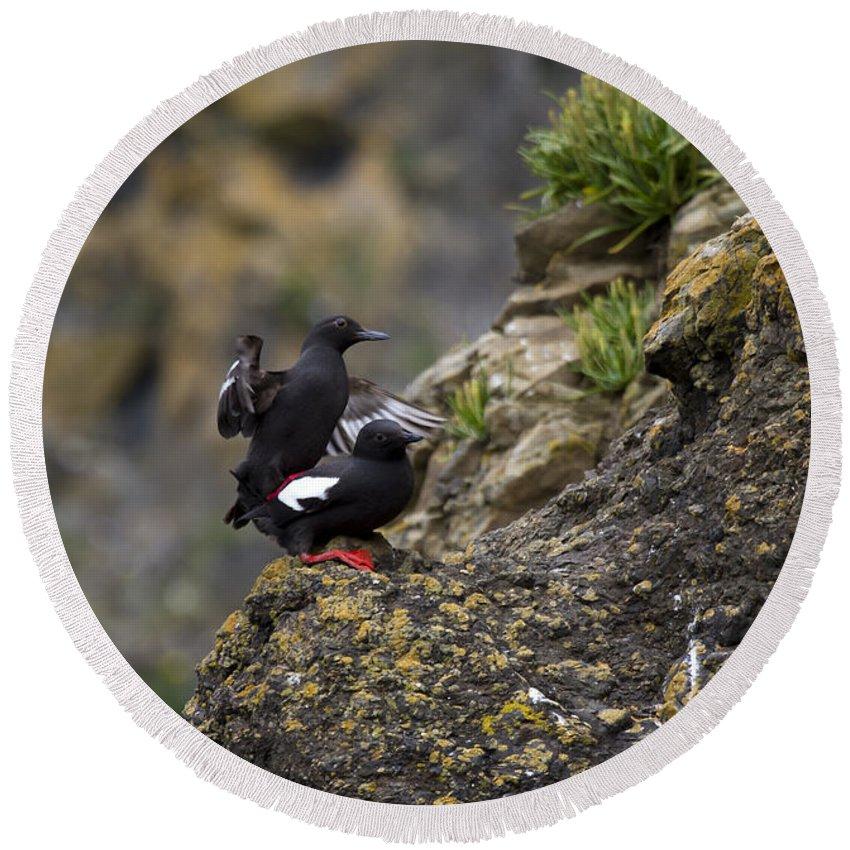 Pigeon Guillemot Round Beach Towel featuring the photograph Pigeon Gillemot Mating by Mike Dawson