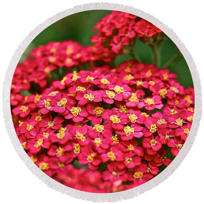Garden Round Beach Towel featuring the photograph Pink Yarrow by Susan Herber