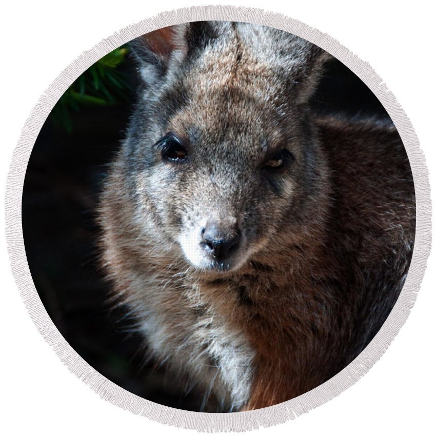 Portrait Round Beach Towel featuring the photograph Portrait Of A Wallaby by Rob Hawkins