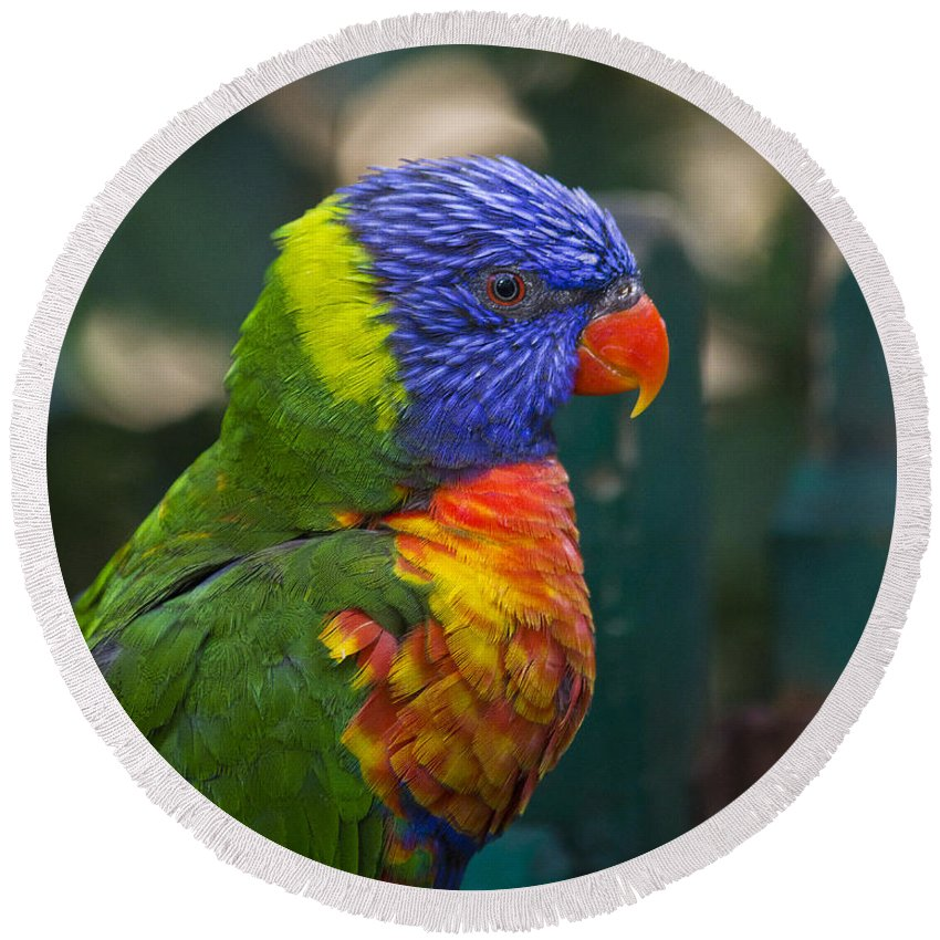 Clare Bambers Round Beach Towel featuring the photograph Posing Rainbow Lorikeet. by Clare Bambers