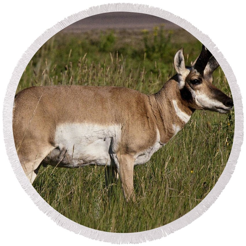 Pronghorn Round Beach Towel featuring the photograph Pronghorn Male Custer State Park Black Hills South Dakota -1 by Paul Cannon
