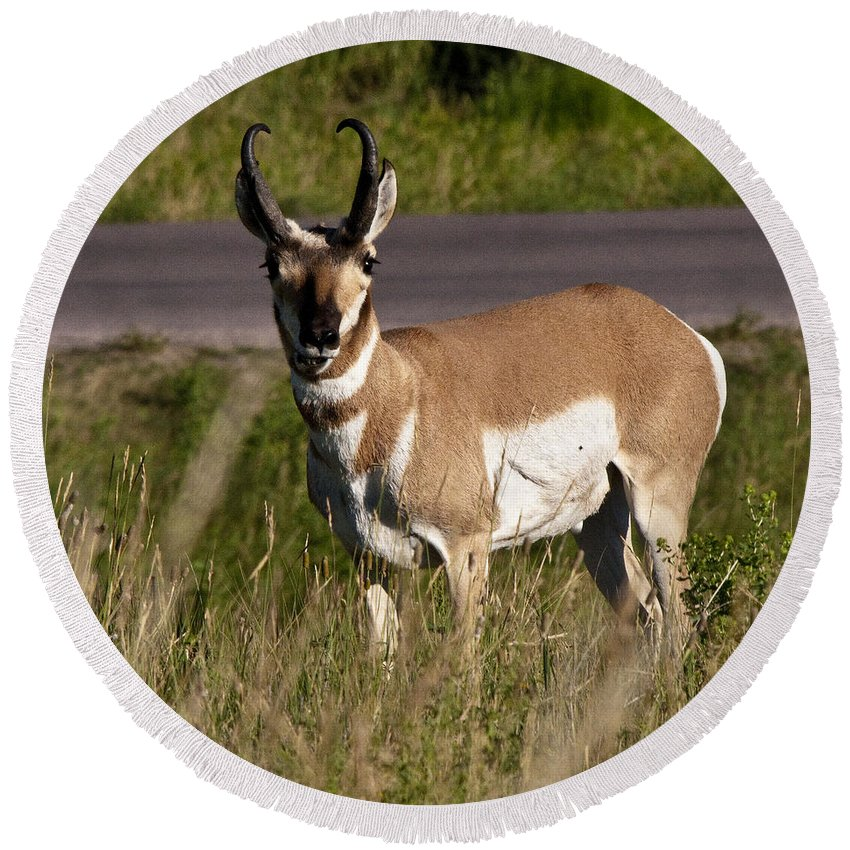 Pronghorn Round Beach Towel featuring the photograph Pronghorn Male Custer State Park Black Hills South Dakota -2 by Paul Cannon