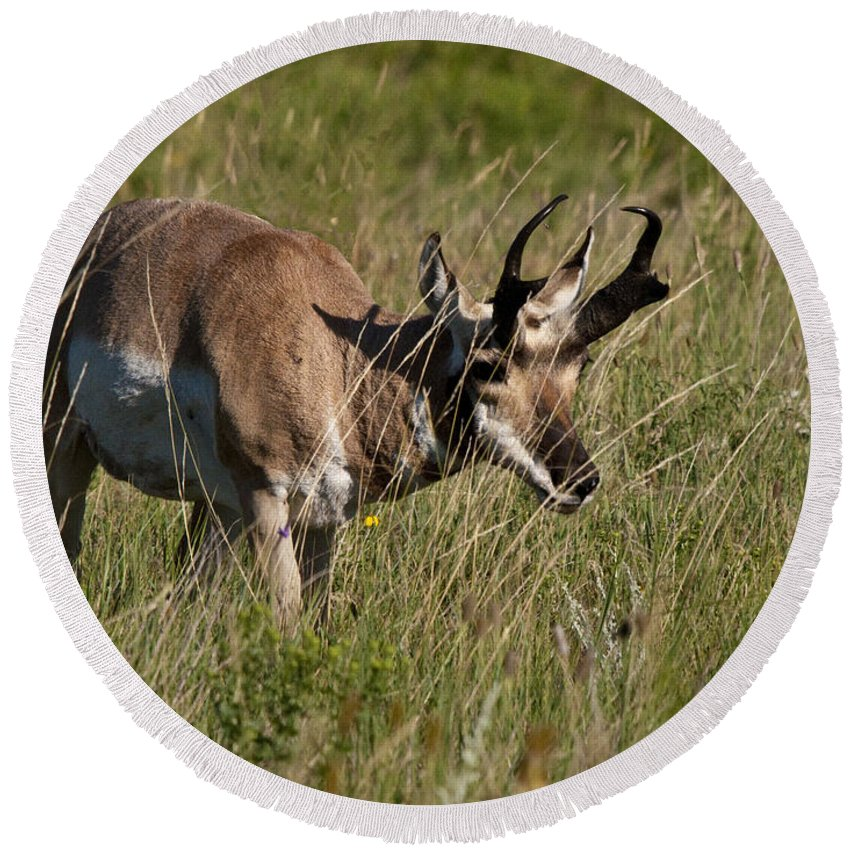 Pronghorn Round Beach Towel featuring the photograph Pronghorn Male Custer State Park Black Hills South Dakota -3 by Paul Cannon