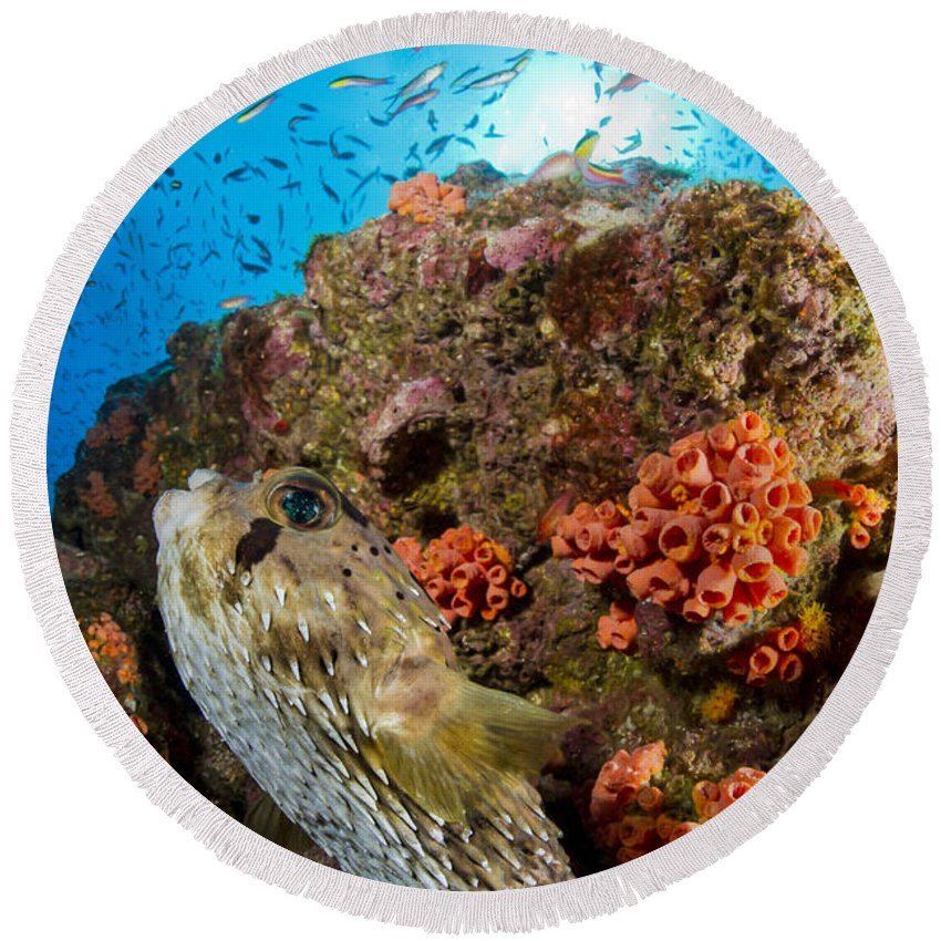 El Bajo Round Beach Towel featuring the photograph Pufferfish And Reef, La Paz Mexico by Todd Winner