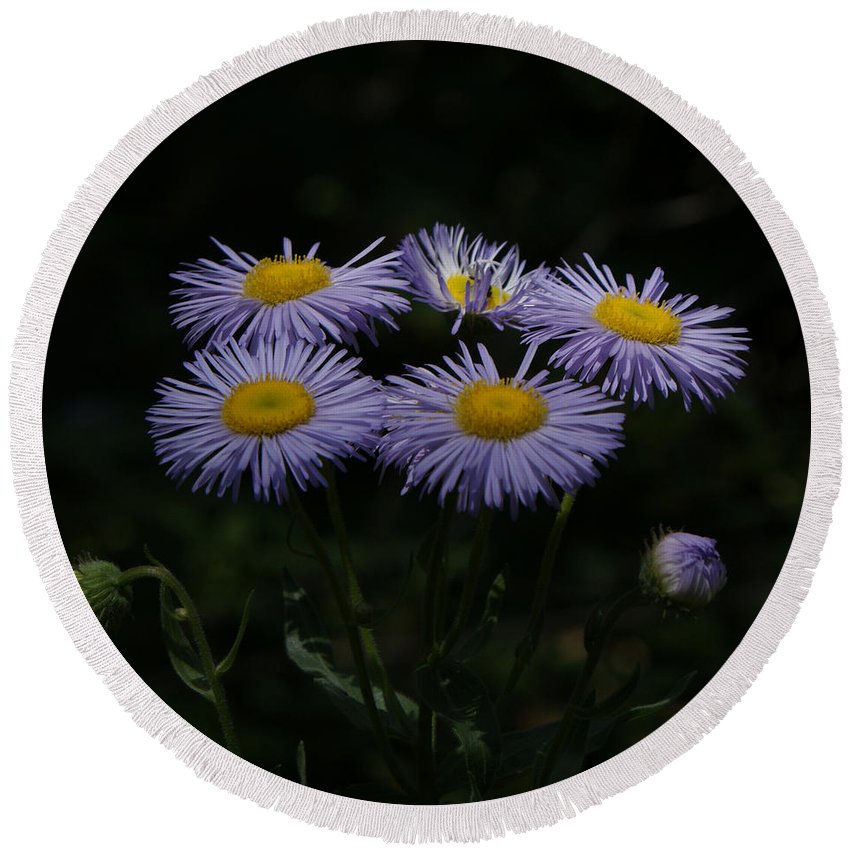 Asters Round Beach Towel featuring the photograph Purple Asters by Ernie Echols