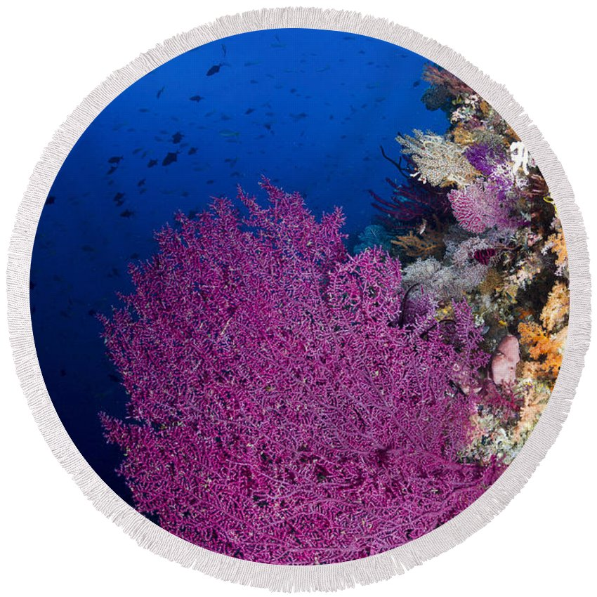 Raja Ampat Round Beach Towel featuring the photograph Purple Sea Fan In Raja Ampat, Indonesia by Todd Winner