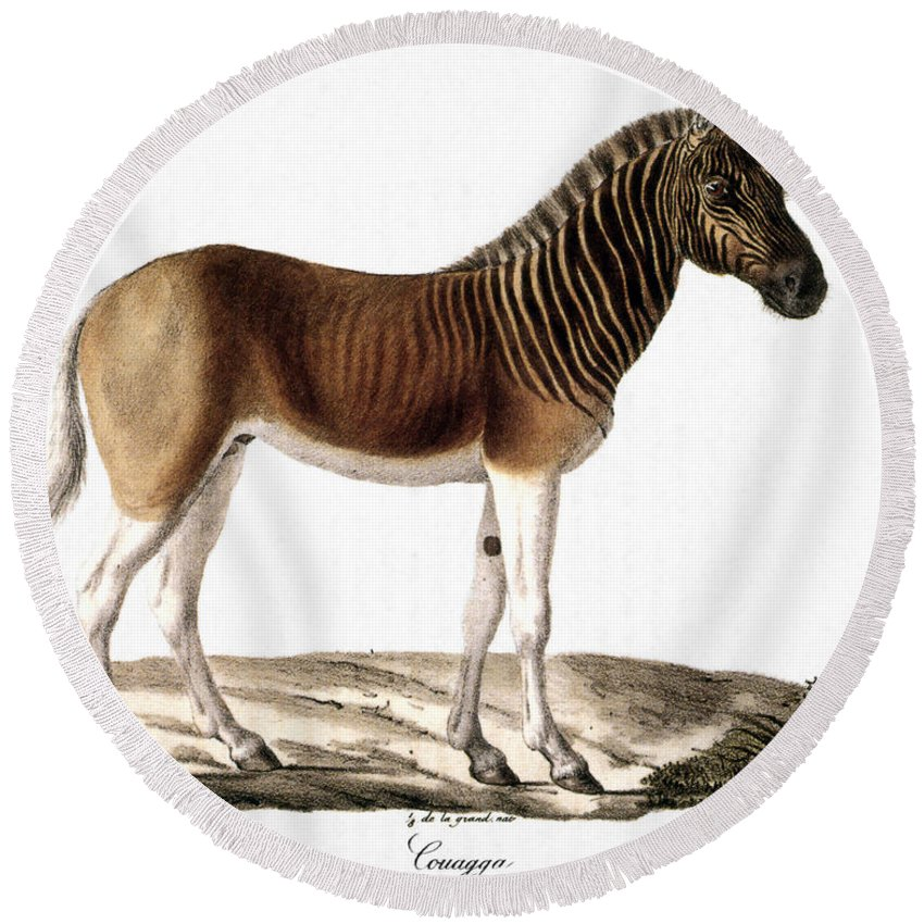 1824 Round Beach Towel featuring the photograph Quagga (equus Quagga) by Granger