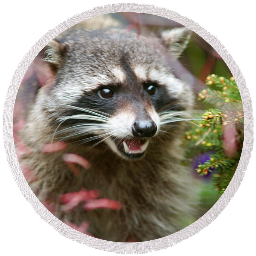 Raccoon Round Beach Towel featuring the photograph Raccoon by Randy Harris