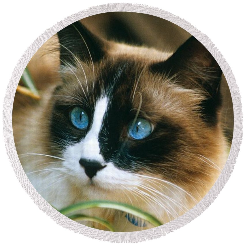 Ragdoll Cat Round Beach Towel featuring the photograph Ragdoll Cat--rikki by Larry Allan