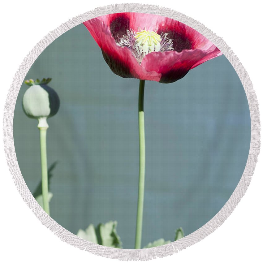 England Round Beach Towel featuring the photograph Red Opium Poppy by Andrew Michael