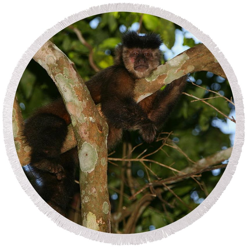 Monkey Round Beach Towel featuring the photograph Relaxed - Brown Capuchin by Bruce J Robinson