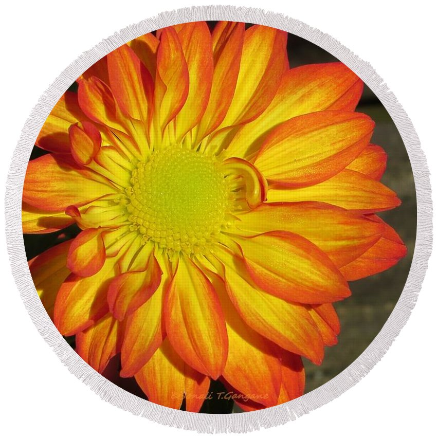 Chrysanths Round Beach Towel featuring the photograph Resplendent Beauty by Sonali Gangane