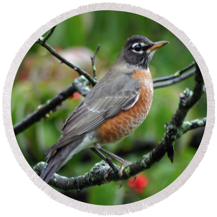 Birds Round Beach Towel featuring the photograph Robin by Living Color Photography Lorraine Lynch