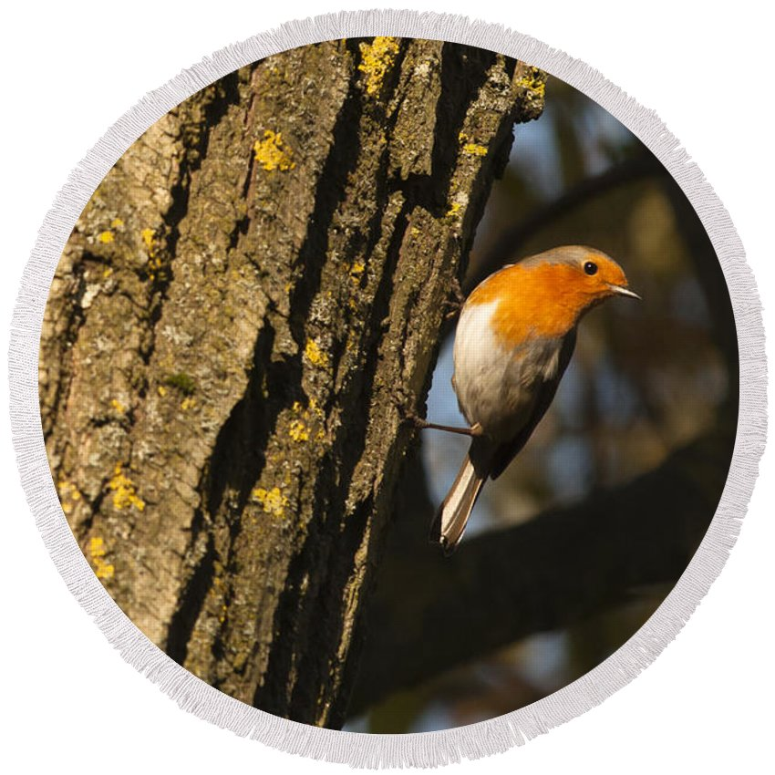 Britain Round Beach Towel featuring the photograph Robin On Tree by Andrew Michael