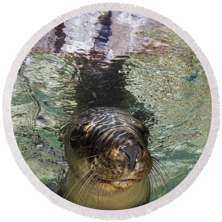 California Sea Lion Round Beach Towel featuring the photograph Sea Lion Portrait, Los Islotes, La Paz by Todd Winner