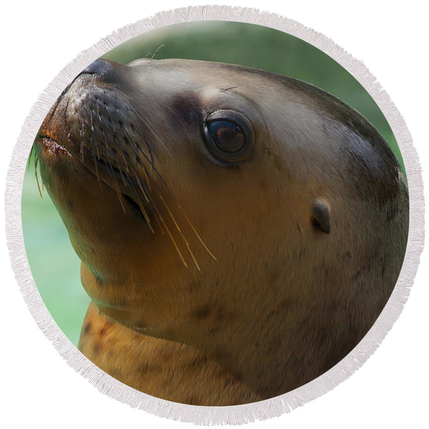 California Round Beach Towel featuring the photograph Sea Lion Up Close. by Andrew Michael
