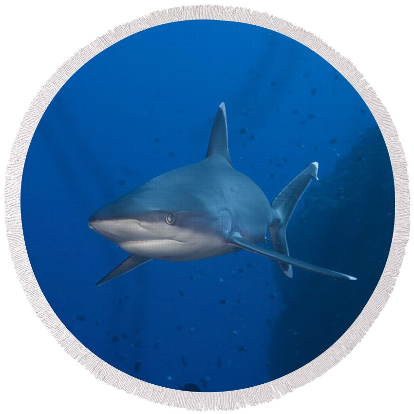 Carcharhinus Albimarginatus Round Beach Towel featuring the photograph Silvertip Shark, Kimbe Bay, Papua New by Steve Jones