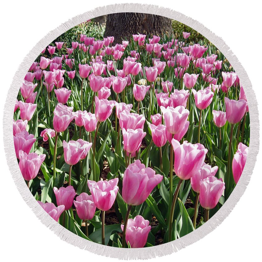 A Garden Of Single Late Cum Laude Was Filled With These Gorgeous Blossoms. Other Tulip Beds Can Be Seen In The Distance. Round Beach Towel featuring the photograph Single Late Cum Laude Field by Darleen Stry