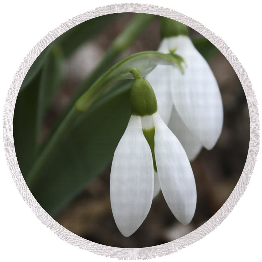 Snowdrops Round Beach Towel featuring the photograph Snowdrops 2012 by Teresa Mucha