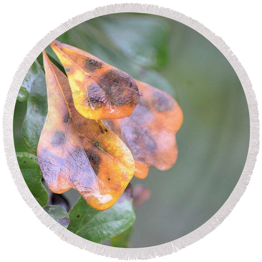 Spotted Oak Leaves In Autumn Round Beach Towel featuring the photograph Spotted Oak Leaves In Autumn by Maria Urso