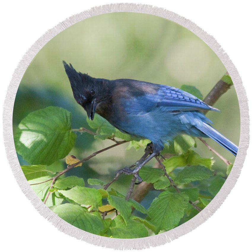Beautiful Bc Round Beach Towel featuring the photograph Stellers Jay by Rod Wiens