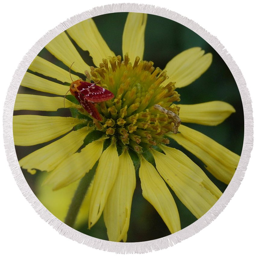 Flower Round Beach Towel featuring the photograph Strawberry Moth On A Yellow Flower by Beth Gates-Sully