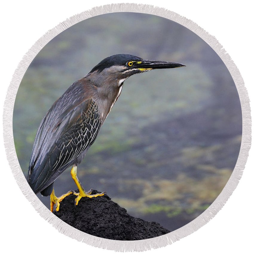 Striated Heron Round Beach Towel featuring the photograph Striated Heron by Tony Beck