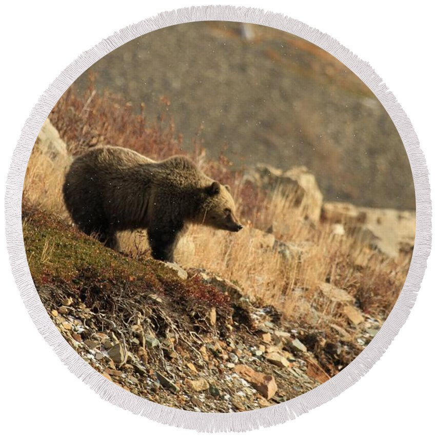 Grizzly Bear Round Beach Towel featuring the photograph Surveying The Area by Adam Jewell
