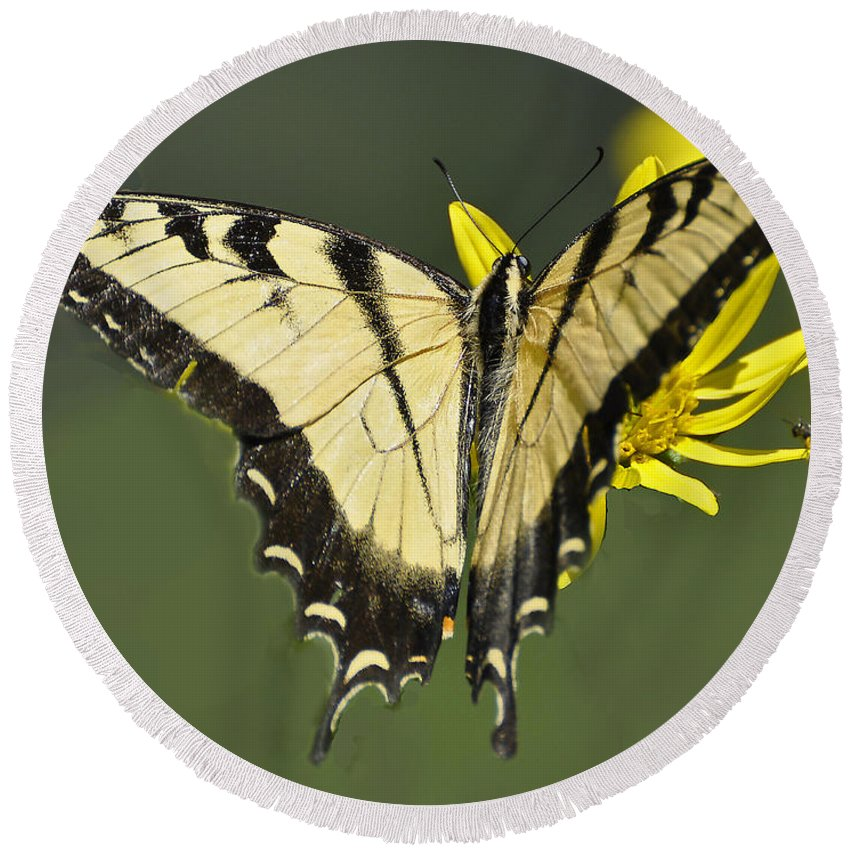 Butterfly Round Beach Towel featuring the photograph Swallowtail And Friend by Rodney Campbell